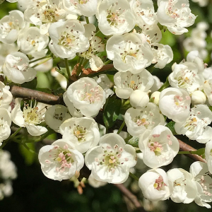 Lots of white hawthorn flowers