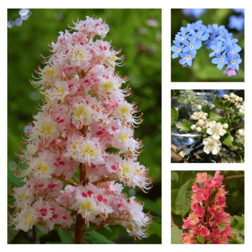 White & red chestnut flower, forget-me-not flower, hawthorn flower