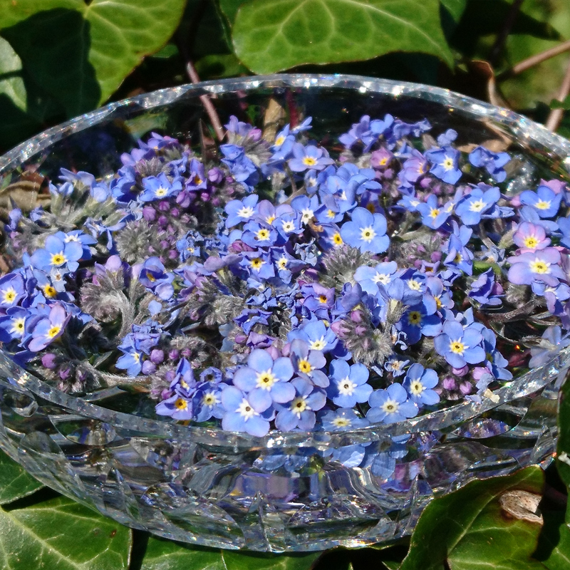 Forget-me-not flower essence for emotional balance