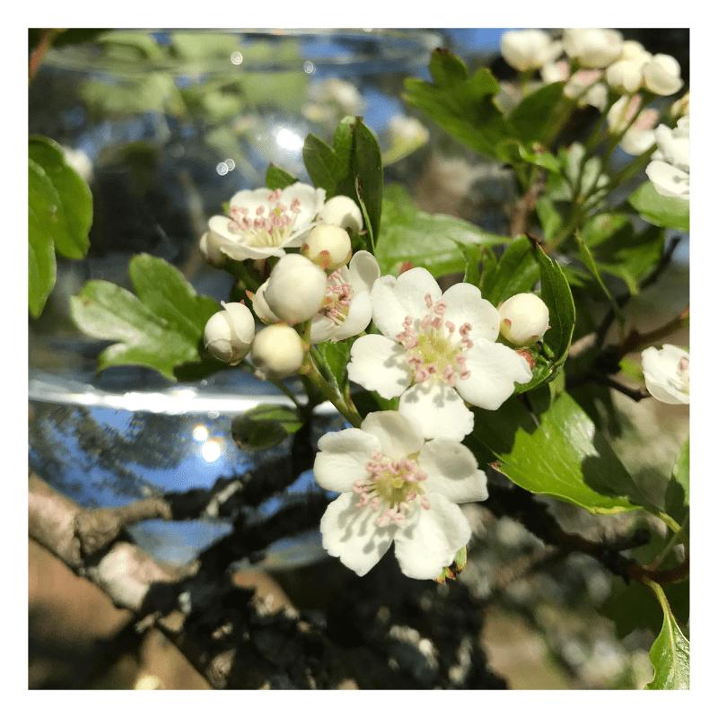 Hawthorn - flower essence - Rebecca Veryan Millar