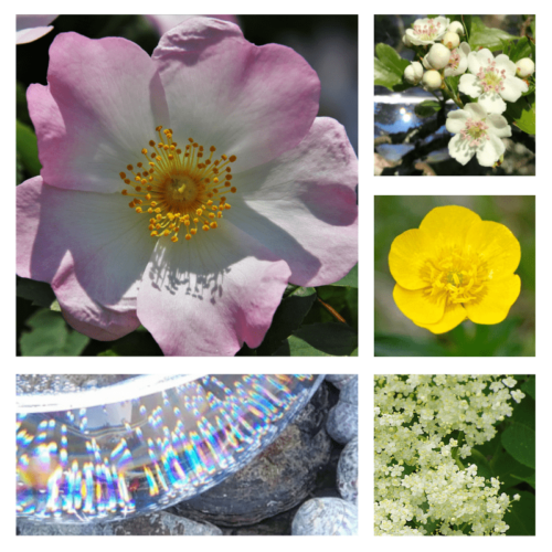 My Time to Shine - flower essence - Rebecca Veryan Millar