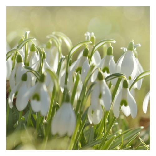 Snowdrop - flower essence - Rebecca Veryan Millar