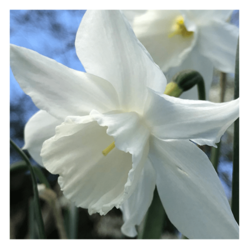 Angels' Wings - flower essence - Rebecca Veryan Millar