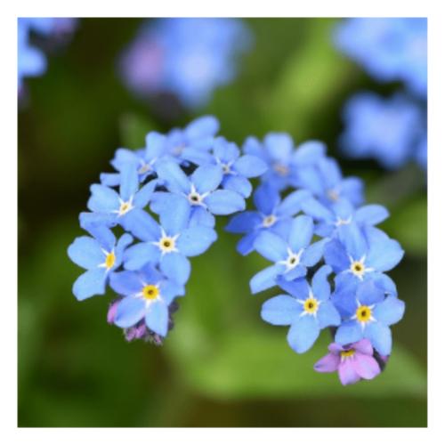 Forget-Me-Not - flower essence - Rebecca Veryan Millar